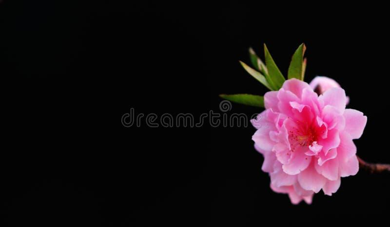 Flor cor-de-rosa no preto imagens de stock royalty free