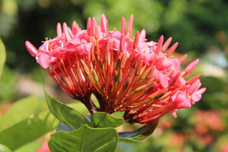 Flor cor-de-rosa Pointy imagem de stock