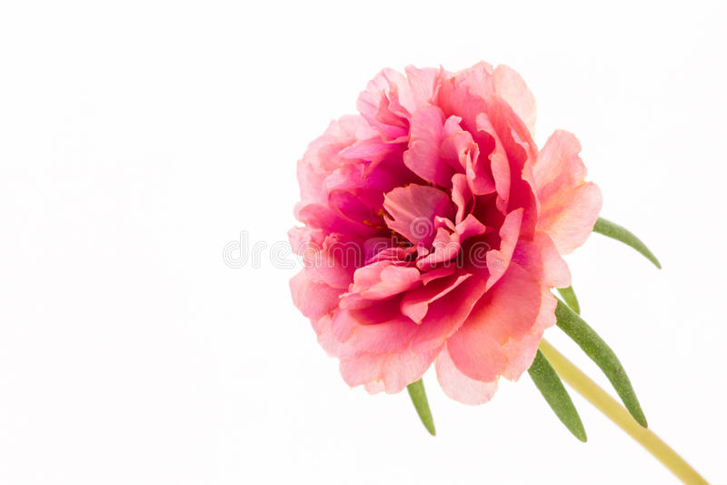 A flor cor-de-rosa, Purslane comum, portulaca floresce, Verdolaga, Pigw imagens de stock