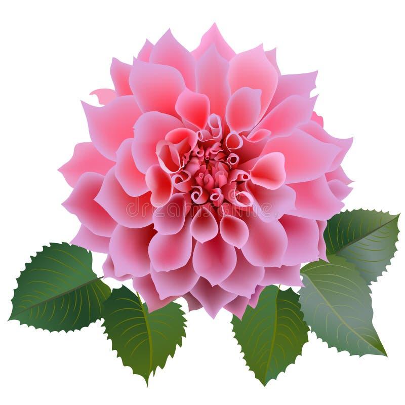 Flor cor-de-rosa realística do crisântemo com quatro folhas ilustração royalty free