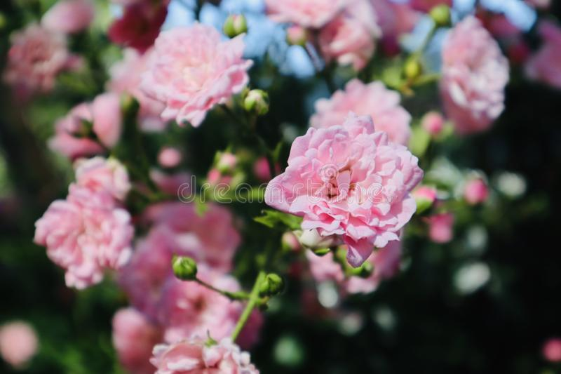 Flor cor-de-rosa selvagem do rosa que floresce durante o verão fotos de stock royalty free