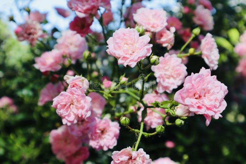 Flor cor-de-rosa selvagem do rosa que floresce durante o verão fotografia de stock