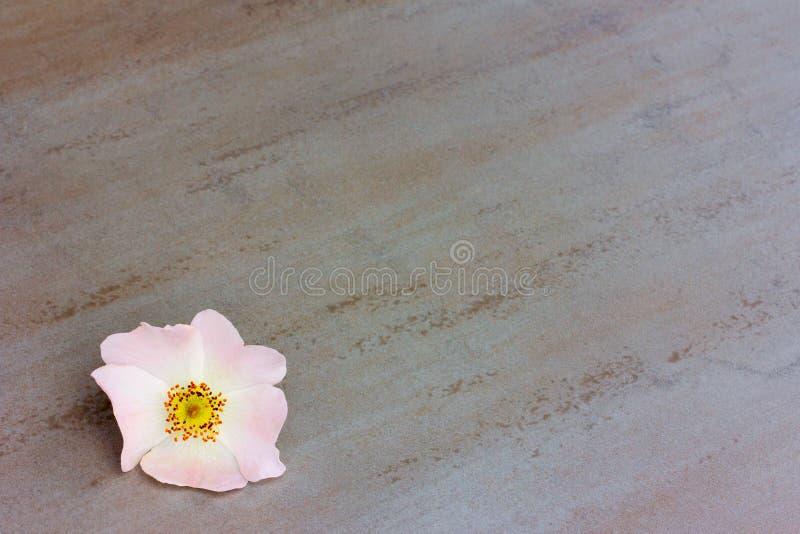 A flor cor-de-rosa solitária selvagem aumentou em um fundo cinzento imagem de stock royalty free