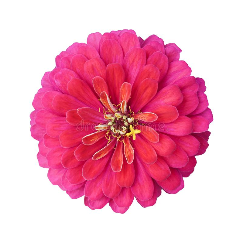 Flor cor-de-rosa vívida bonita do zinnia isolada no fundo branco fotos de stock royalty free
