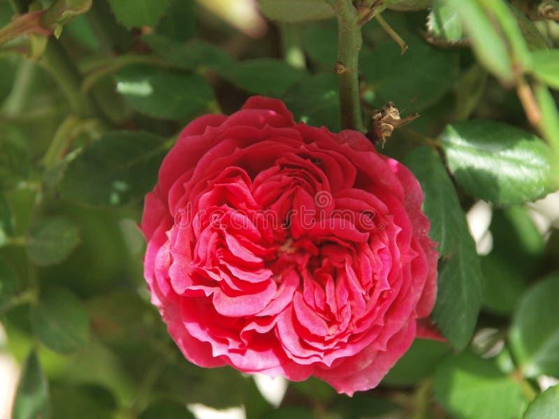 Flor cor-de-rosa vermelha da mola da natureza da beleza imagem de stock