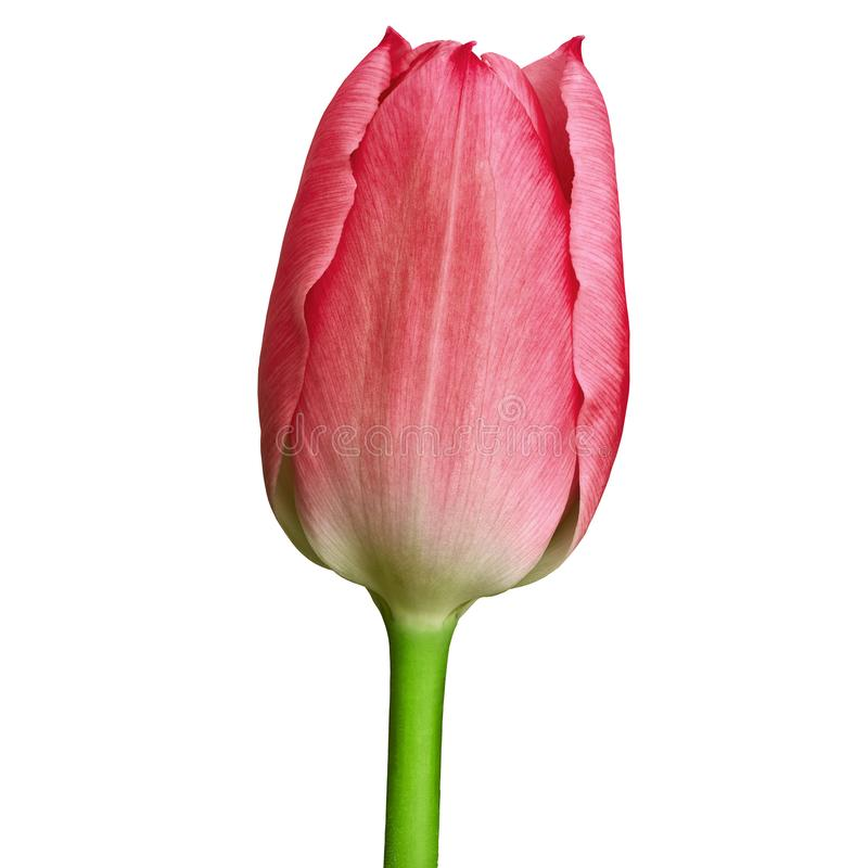 Flor cor-de-rosa vermelha da tulipa isolada em um fundo branco com trajeto de grampeamento Close-up fotografia de stock
