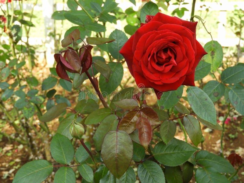 Flor cor-de-rosa vermelha em um arbusto fotografia de stock