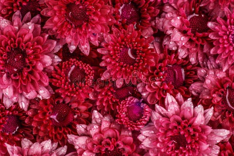 Flor cor-de-rosa vermelha fresca macia com gota da água de chuva para o amor romant fotografia de stock royalty free