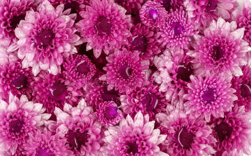 A flor cor-de-rosa vermelha fresca macia com gota da água de chuva para a ROM do amor imagem de stock royalty free
