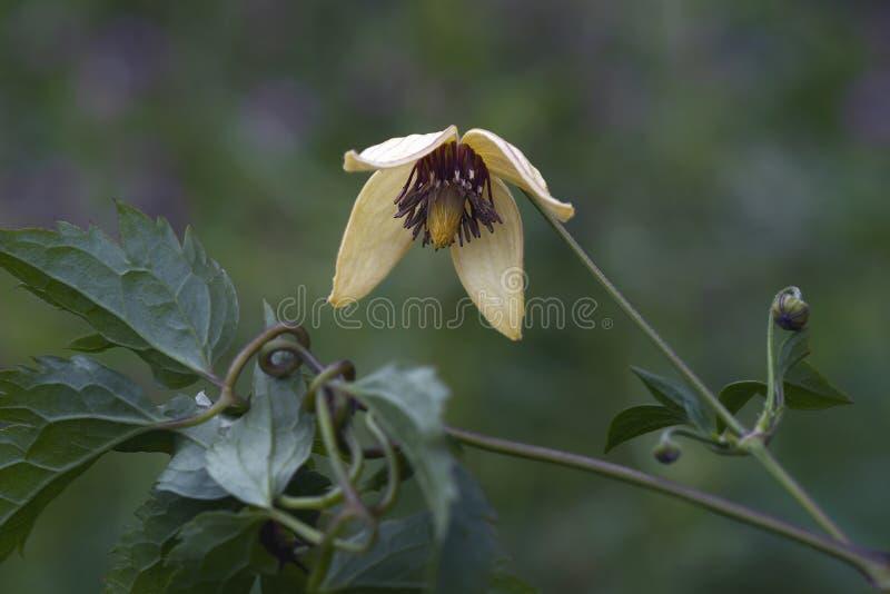 Flor coreana da clematite imagem de stock