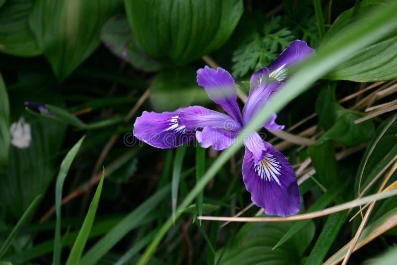 Flor costera azul imágenes de archivo libres de regalías