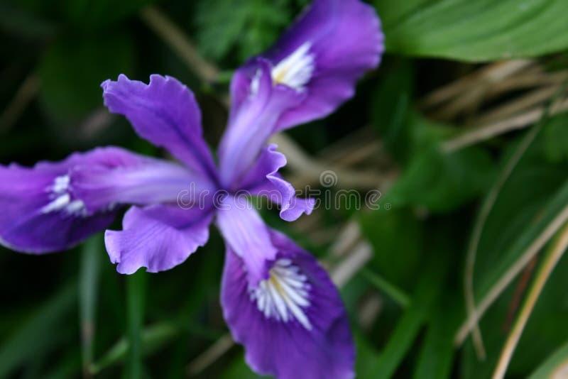 Flor costera azul 2 fotografía de archivo libre de regalías