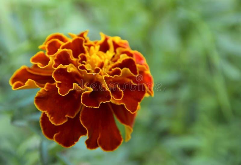 Flor cravo-de-defunto francês ou do patula amarelo vermelho de Tagetes no jardim do verão imagem de stock royalty free