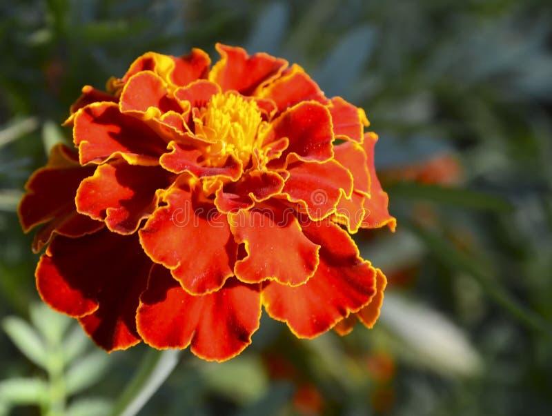 Flor cravo-de-defunto franc?s ou do patula amarelo vermelho de Tagetes no jardim do ver?o Fundo floral brilhante com espa?o da c? fotos de stock royalty free