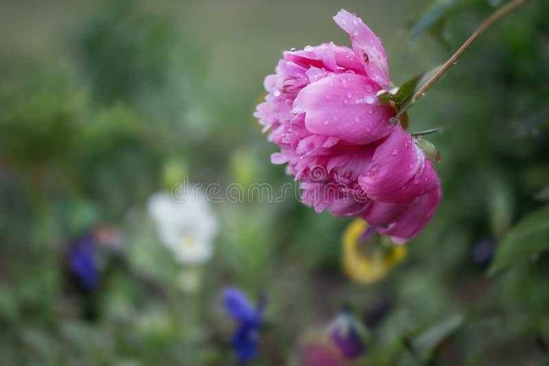 Flor cubierta de rocio de la peonía en el jardín fotos de archivo