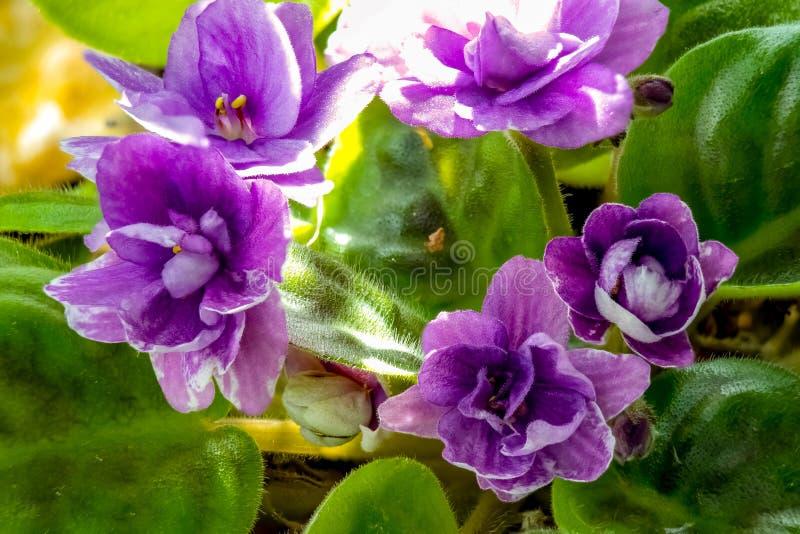 Flor cultivado em casa No per?odo de floresc?ncia Saintpaulia violeta da casa, violetas simples R?ssia fotografia de stock
