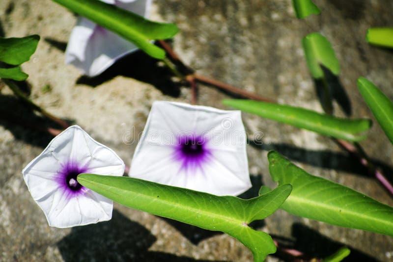 Flor da água no lago imagem de stock