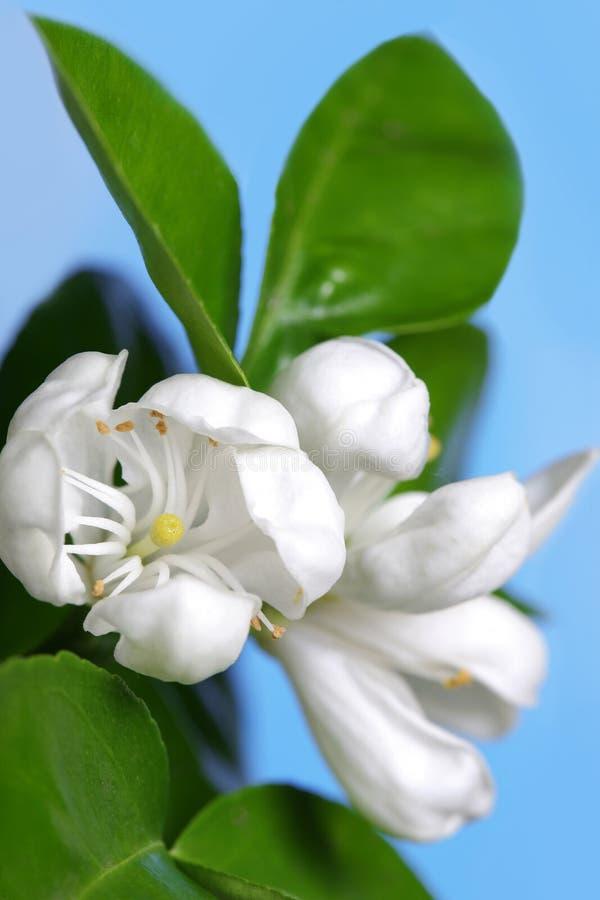 Flor da árvore alaranjada fotos de stock royalty free