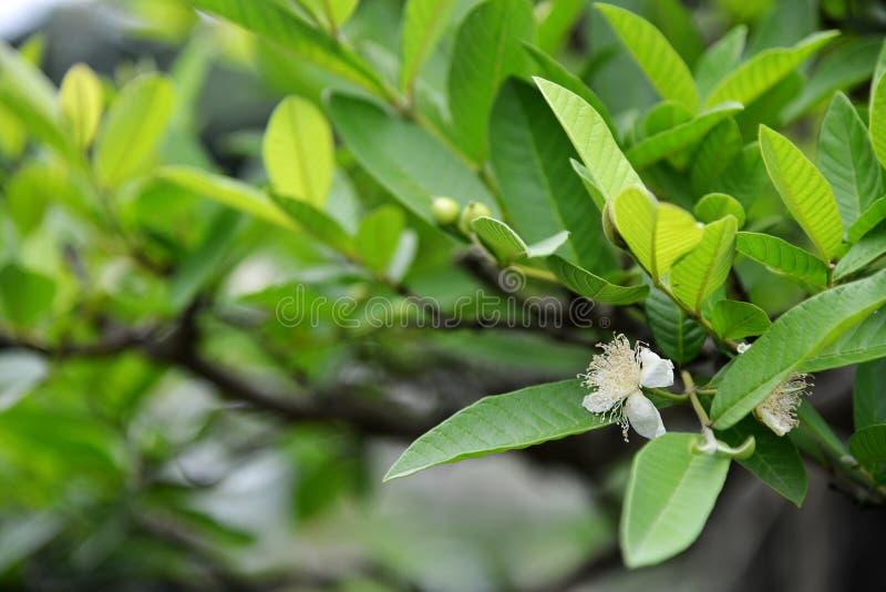 Flor da árvore da goiaba imagem de stock