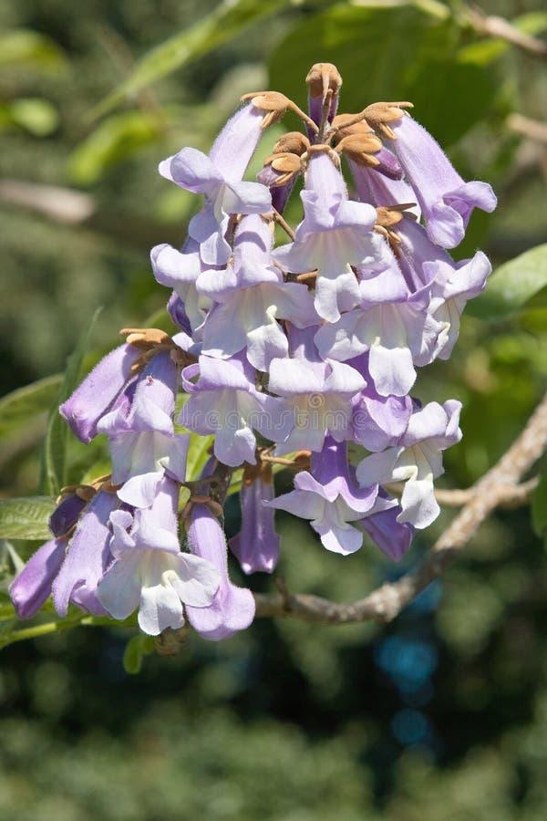 Flor da árvore da imperatriz, tomentosa do paulownia fotografia de stock royalty free