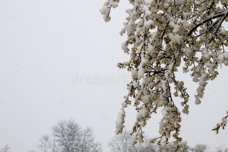 Flor da árvore da mola coberta com a neve durante o ciclone repentino da neve de abril imagem de stock royalty free