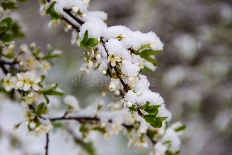 Flor da árvore da mola coberta com a neve durante o ciclone repentino da neve de abril fotografia de stock royalty free