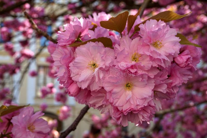 Flor da árvore de amêndoa foto de stock royalty free