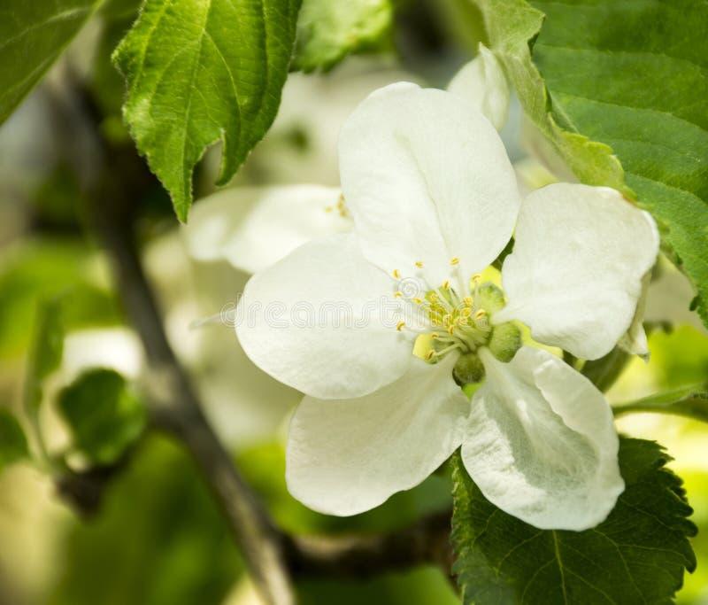 Flor da árvore de Apple fotos de stock royalty free