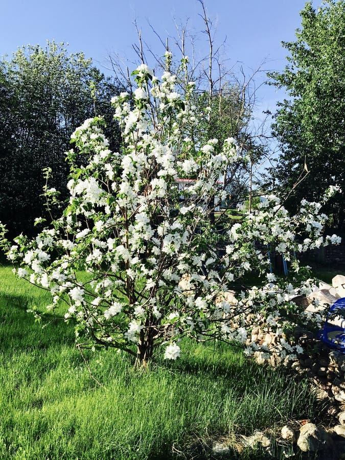 Flor da árvore de Apple foto de stock