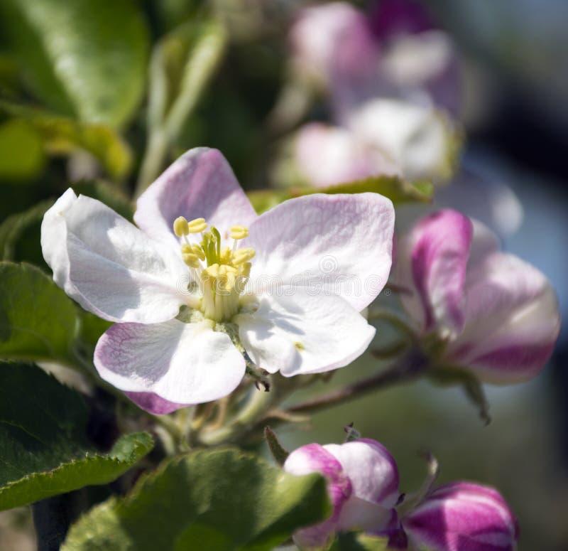Flor da árvore de Apple com botões cor-de-rosa imagens de stock royalty free