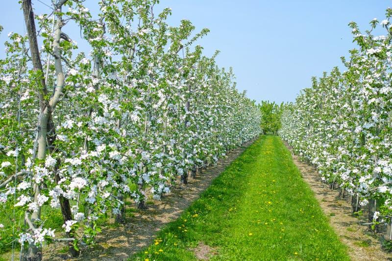 Flor da árvore de Apple, estação de mola em pomares de fruto na região agrícola em Bélgica, paisagem de Haspengouw fotos de stock