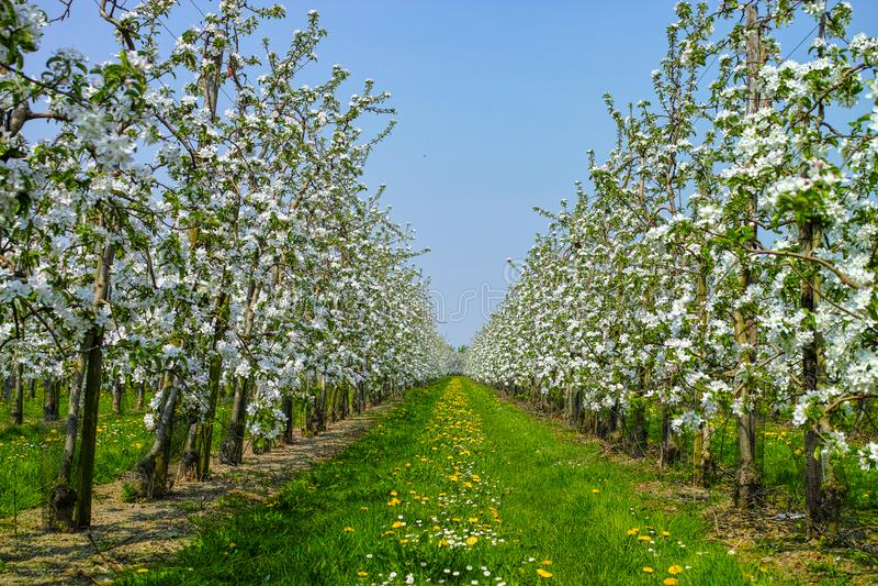 Flor da árvore de Apple, estação de mola em pomares de fruto na região agrícola em Bélgica, paisagem de Haspengouw fotografia de stock royalty free