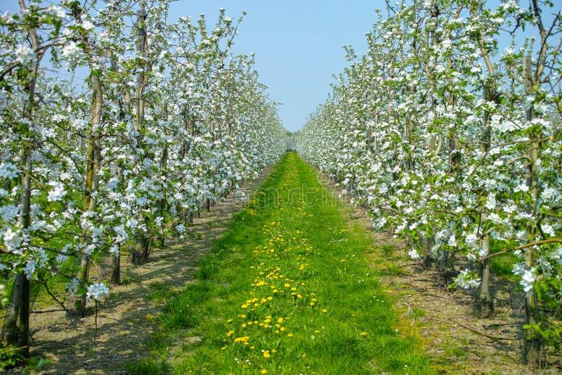 Flor da árvore de Apple, estação de mola em pomares de fruto na região agrícola em Bélgica, paisagem de Haspengouw imagens de stock royalty free