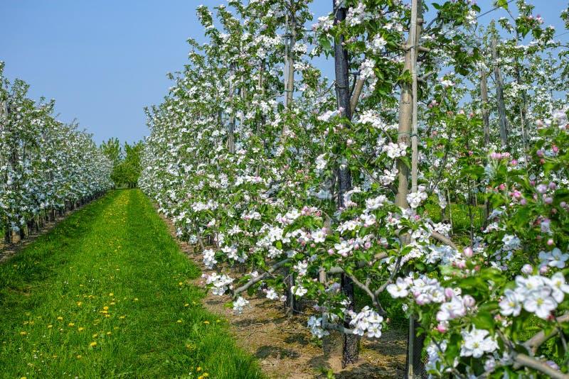 Flor da árvore de Apple, estação de mola em pomares de fruto na região agrícola em Bélgica, paisagem de Haspengouw fotografia de stock