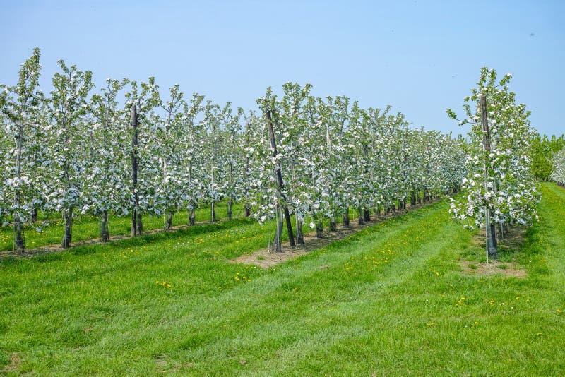 Flor da árvore de Apple, estação de mola em pomares de fruto na região agrícola em Bélgica, paisagem de Haspengouw foto de stock royalty free