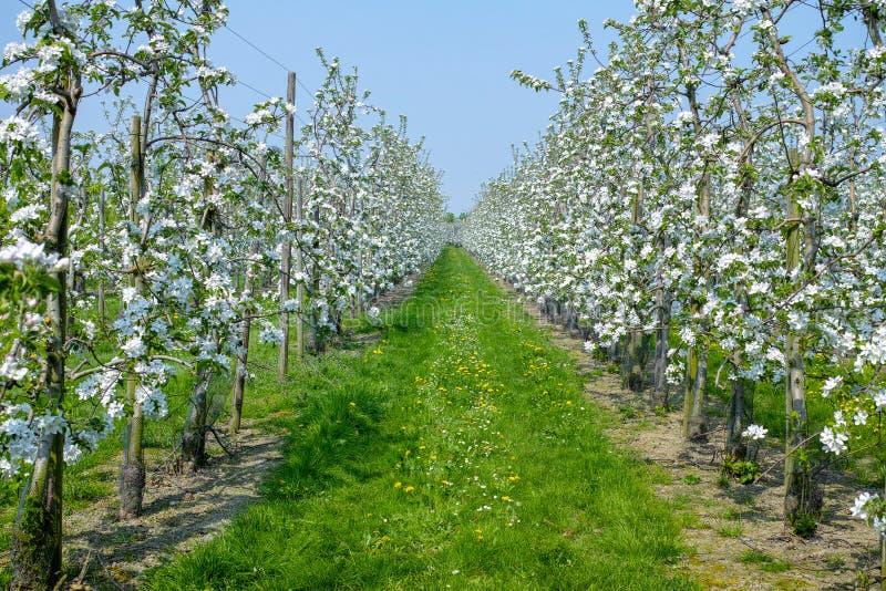 Flor da árvore de Apple, estação de mola em pomares de fruto na região agrícola em Bélgica, paisagem de Haspengouw fotos de stock royalty free