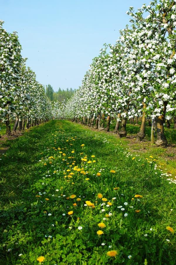 Flor da árvore de Apple, estação de mola em pomares de fruto na região agrícola em Bélgica, paisagem de Haspengouw imagem de stock