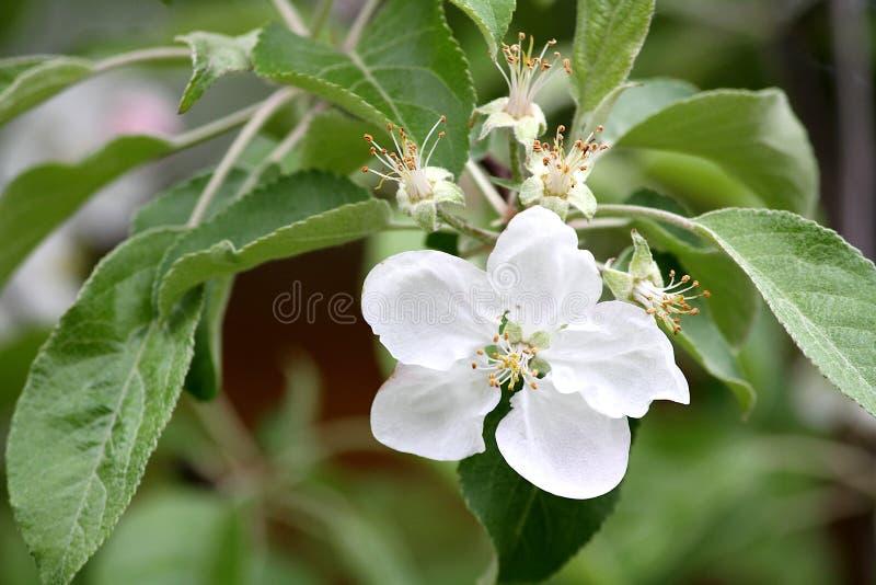 Flor da ?rvore de Apple que floresce com come?os da ma?? foto de stock royalty free
