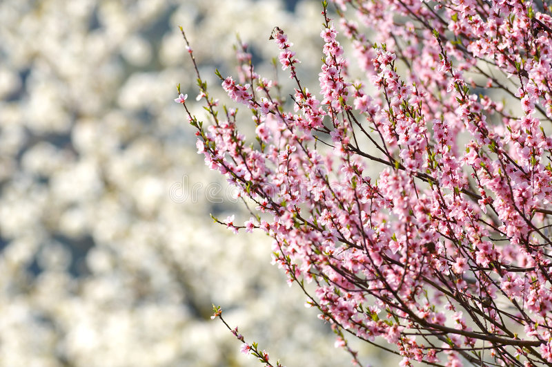 Flor da árvore de cereja fotografia de stock royalty free