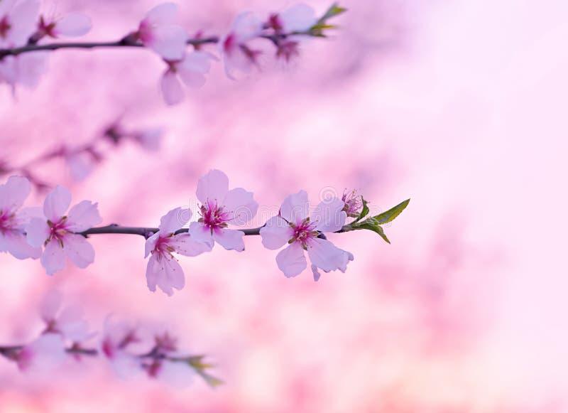 Flor da árvore de cereja imagens de stock royalty free
