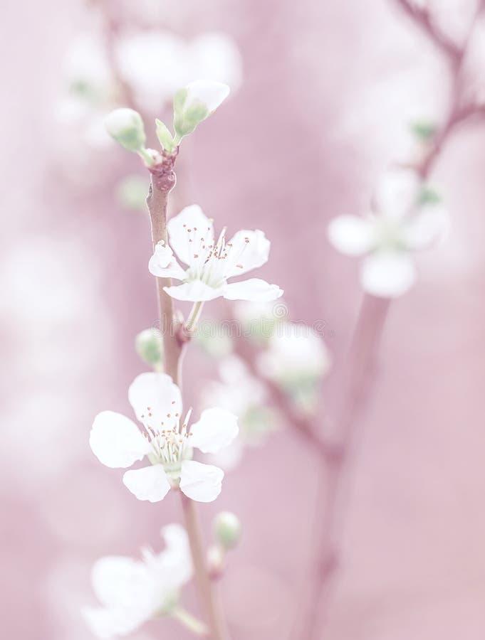 Flor da árvore de cereja fotos de stock royalty free