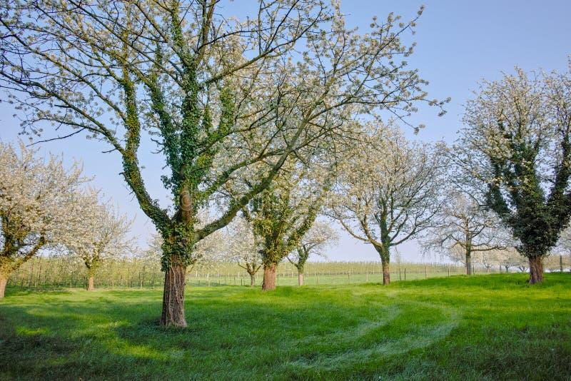 Flor da árvore de cereja, estação de mola em pomares de fruto na região agrícola em Bélgica, paisagem de Haspengouw fotos de stock