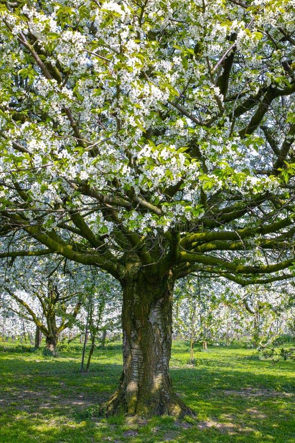 Flor da árvore de cereja, estação de mola em pomares de fruto na região agrícola em Bélgica, paisagem de Haspengouw imagem de stock royalty free
