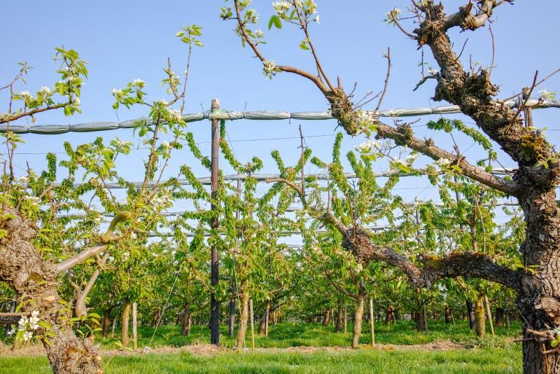 Flor da árvore de cereja, estação de mola em pomares de fruto na região agrícola em Bélgica, paisagem de Haspengouw fotografia de stock royalty free