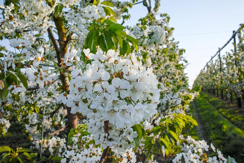 Flor da árvore de cereja, estação de mola em pomares de fruto na região agrícola em Bélgica, paisagem de Haspengouw fotografia de stock