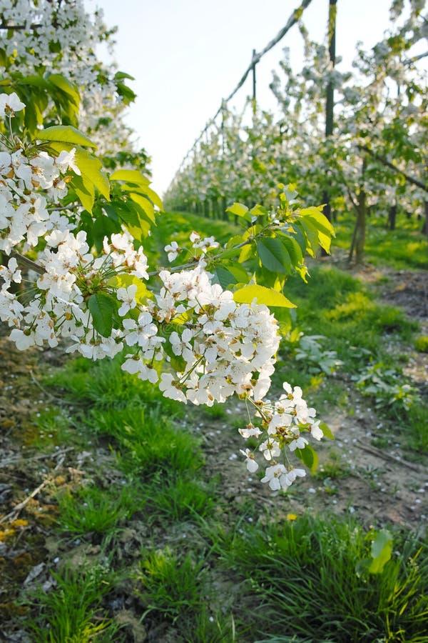 Flor da árvore de cereja, estação de mola em pomares de fruto na região agrícola em Bélgica, paisagem de Haspengouw imagem de stock