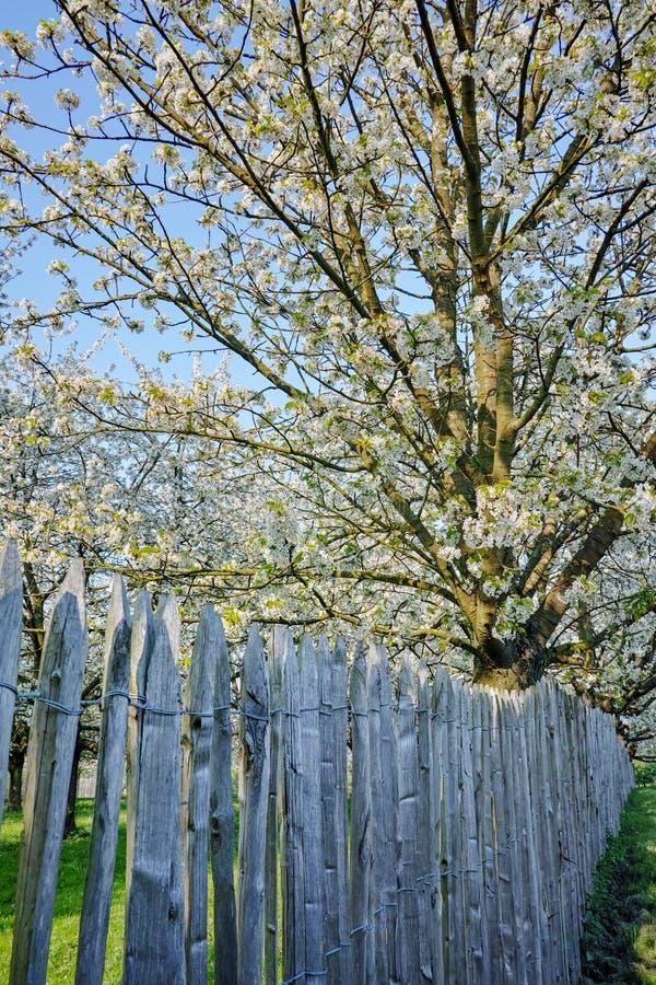 Flor da árvore de cereja, estação de mola em pomares de fruto na região agrícola em Bélgica, paisagem de Haspengouw imagens de stock royalty free