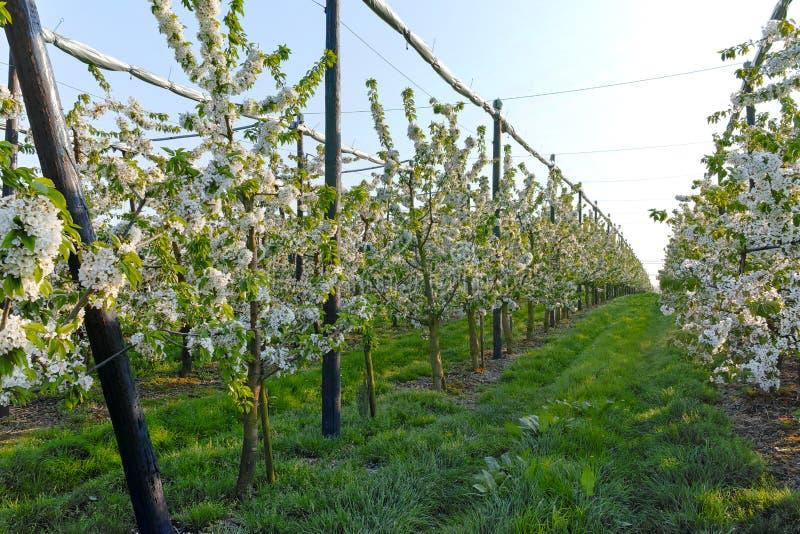 Flor da árvore de cereja, estação de mola em pomares de fruto na região agrícola em Bélgica, paisagem de Haspengouw imagens de stock