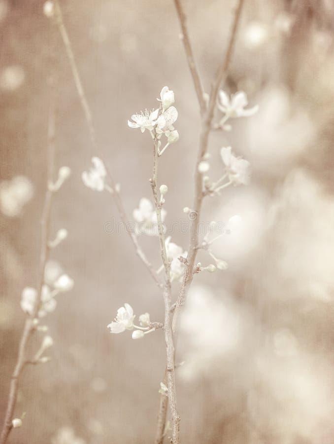 Flor da árvore de cereja imagem de stock