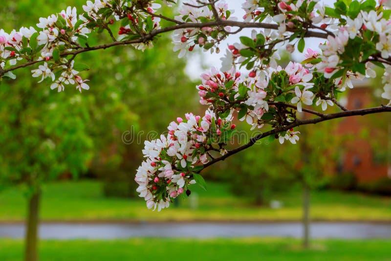 A flor da árvore de cereja sobre a mola do fundo da natureza floresce flores brancas românticas da flor da mola imagens de stock